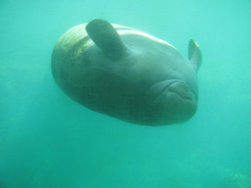 Sailors use to think Manatees were beautiful mermaids...I'm thinking I wouldn't be so self-conscious in a swimsuit if I lived back then.